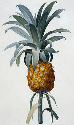 Edge Drawing - Pineapple by Pierre Joseph Redoute