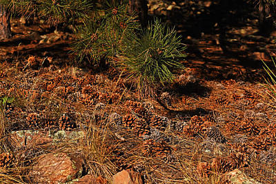 Pinecones Congregating On The Royal Arch Trail Boulder Co Print by Toby McGuire