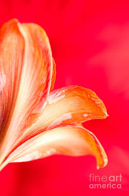 Pink Photograph - Pink Amaryllis Pt Orange Amaryllis In A Pink Room by Andy Smy