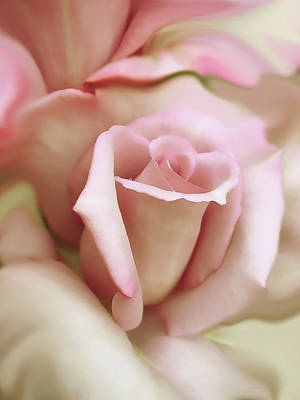 Ivory Rose Photograph - Pink And Ivory Rose Portrait by Jennie Marie Schell