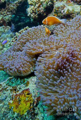 Pink Anemonefish Guard Their Anemone Print by Michael Wood
