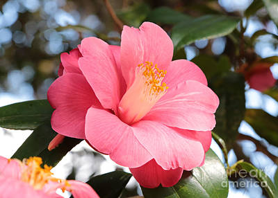 Camellia Photograph - Pink Bright And Beautiful by Carol Groenen