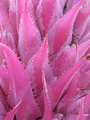 Spine Photograph - Pink Cactus by Nikki Smith