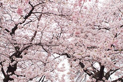 Pink Flower Branch Photograph - Pink Cherry Blossom Tree by Ariane Moshayedi