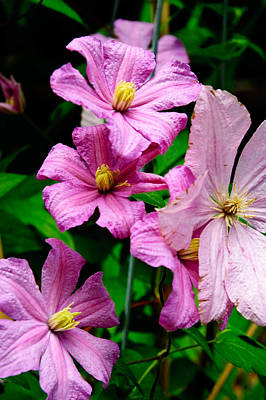 Flowers Photograph - Pink Clematis by Louis Dallara