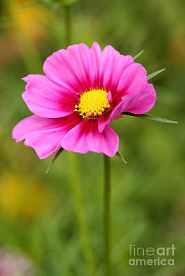 Photograph - Pink Cosmo by Steve Augustin