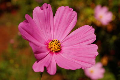 Pink Cosmos Print by Beth Collins