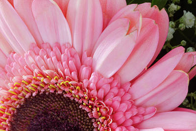Background Photograph - Pink Daisy Close-up by Iordanis Pallikaras