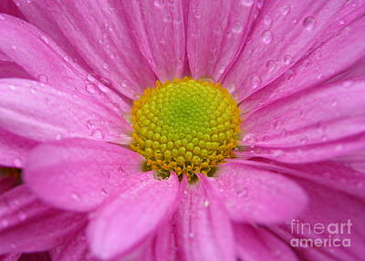 Raindrops On Flowers Photograph - Pink Daisy With Raindrops by Carol Groenen