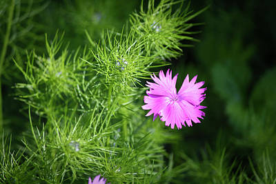 Love-in-a-mist Photograph - Pink Dianthus With Nigella Buds by Teresa Mucha