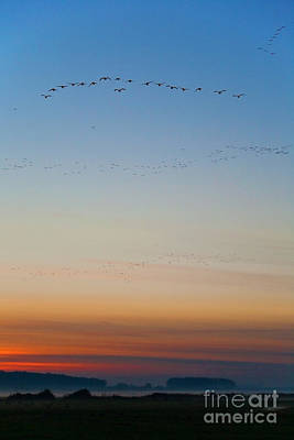 Migration Photograph - Pink Feet And Fog by John Edwards