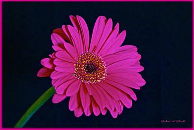 Pink Gerbera Print by Barbara Zahno