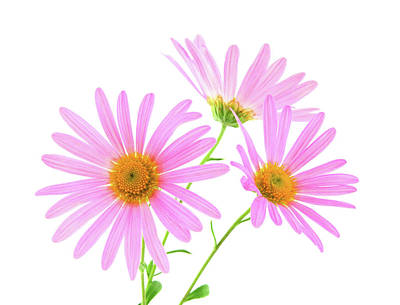 Daisies Photograph - Pink Gerbera Daisies by GoodMood Art