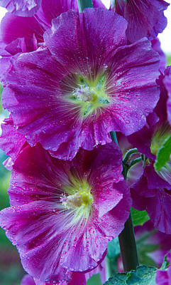 Floral Photograph - Pink Hollyhock by Lise-Lotte Larsson