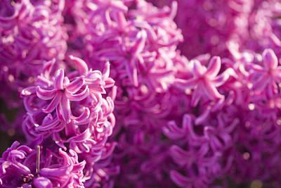 Dutch Hyacinth Photograph - Pink Hyacinths by Andre Goncalves