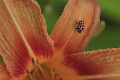 Photograph - Pink Lady Bug by Alan Skonieczny