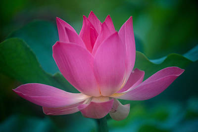 Pink Lotus Blossom Print by Kyle Rothenborg - Printscapes