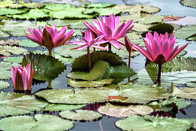 Pink Lotus Blossoms Print by Marcia Colelli