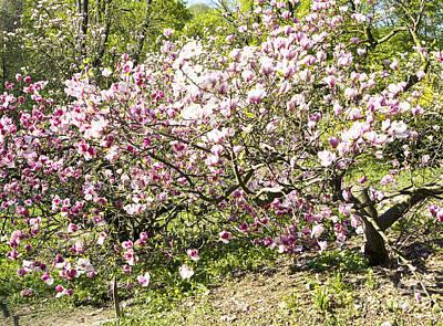 Spring Flower Photograph - Pink Magnolia by Irina Afonskaya