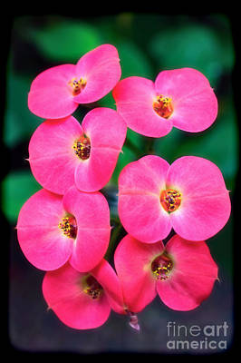Pink Orchid Crown Of Thorns Print by Sue Melvin