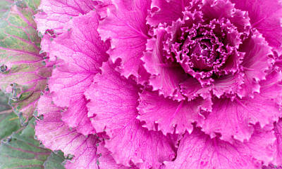 Pink Ornamental Cabbage Plant Print by John Williams