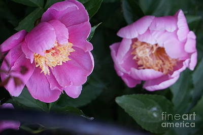 Photograph - Pink Peones by Rod Ismay