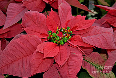 Pink Poinsettia Print by Rich Walter