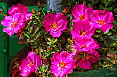Roses Photograph - Pink Portulaca by HH Photography of Florida