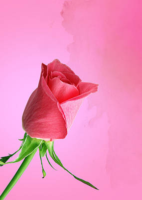 Pink Photograph - Pink Rose by Mark Rogan