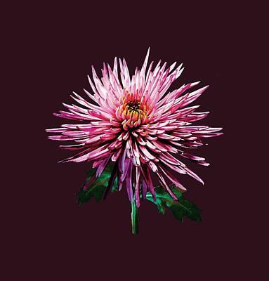 Chrysanthemum Photograph - Pink Spider Mum by Susan Savad