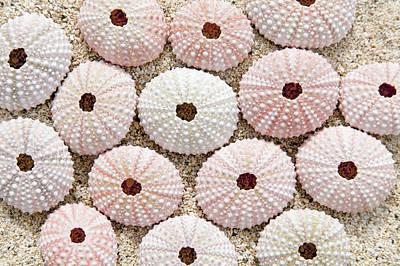 Pink Urchin Shells Print by Brandon Tabiolo