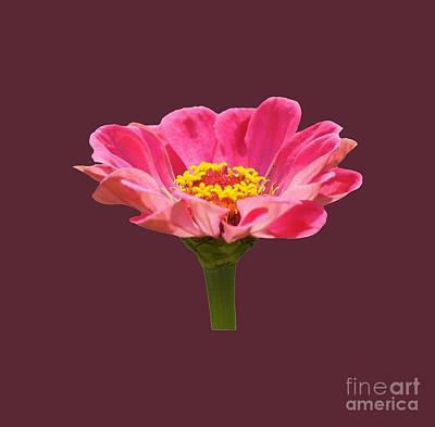 Photograph - Pink Zinnia Flower by Robert E Alter Reflections of Infinity