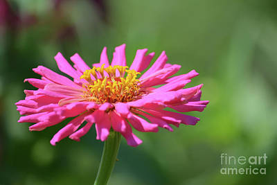 Pink Zinnia Flower Print by Ruth Housley