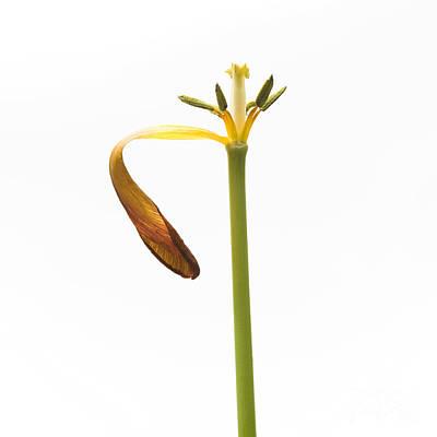 Single Object Photograph - Pistil Of Tulip by Bernard Jaubert