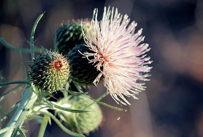 Flower Photograph - Pitcher's Thistle Blossom On Lake Huron Shore by Codee Hart