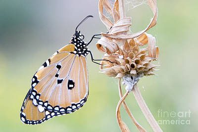 Plain Tiger Butterfly Resting Print by Tim Gainey