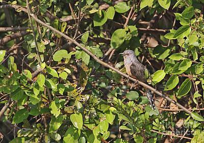 Cuckoo Photograph - Plaintive Cuckoo by Neil Bowman/FLPA