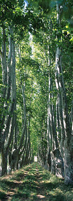 Plane Tree Photograph - Plane Trees In A Forest, Provence by Panoramic Images
