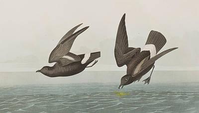 Plate 340 Least Stormy-petrel Print by John James Audubon
