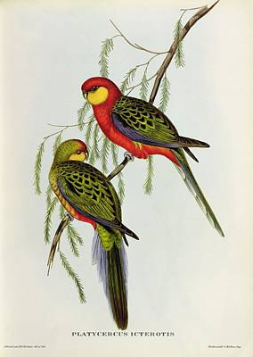 Two Tailed Painting - Platycercus Icterotis by John Gould