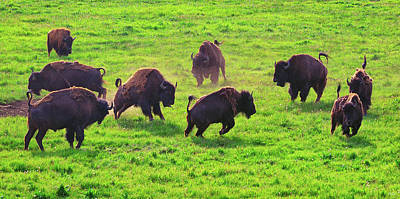 Bison Photograph - Play Time by Greg Norrell