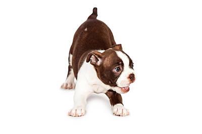 Playful Boston Terrier Puppy Dog Print by Susan  Schmitz