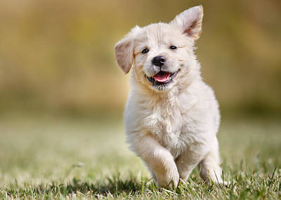 Playful Golden Retriever Puppy Print by Mikkel Bigandt