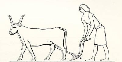 Ancient Civilization Drawing - Ploughing With Oxen In Ancient Egypt by Vintage Design Pics