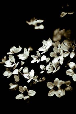 Plum Blossoms Print by Frank Tschakert