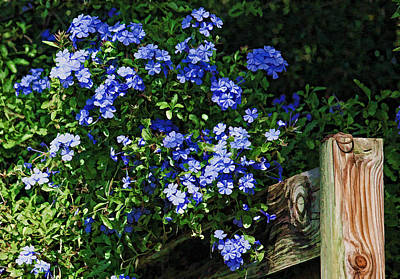 Plumbago On A Fence  Print by HH Photography of Florida