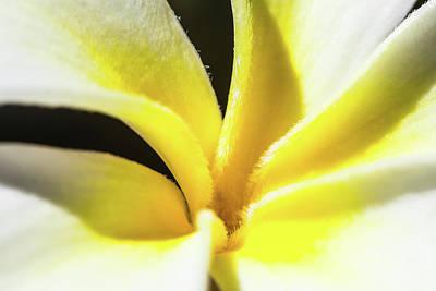 Plumeria Close Up Print by Sean Davey