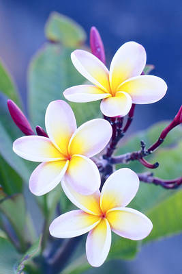 Floral Art Photograph - Plumeria In Pastels by Jade Moon