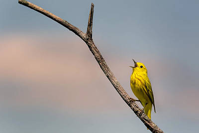Warbler Photograph - Poetrait Of The Yellow Warbler by Bill Wakeley