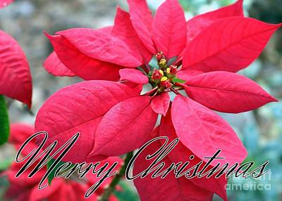 Poinsettia Merry Christmas Print by Diann Fisher